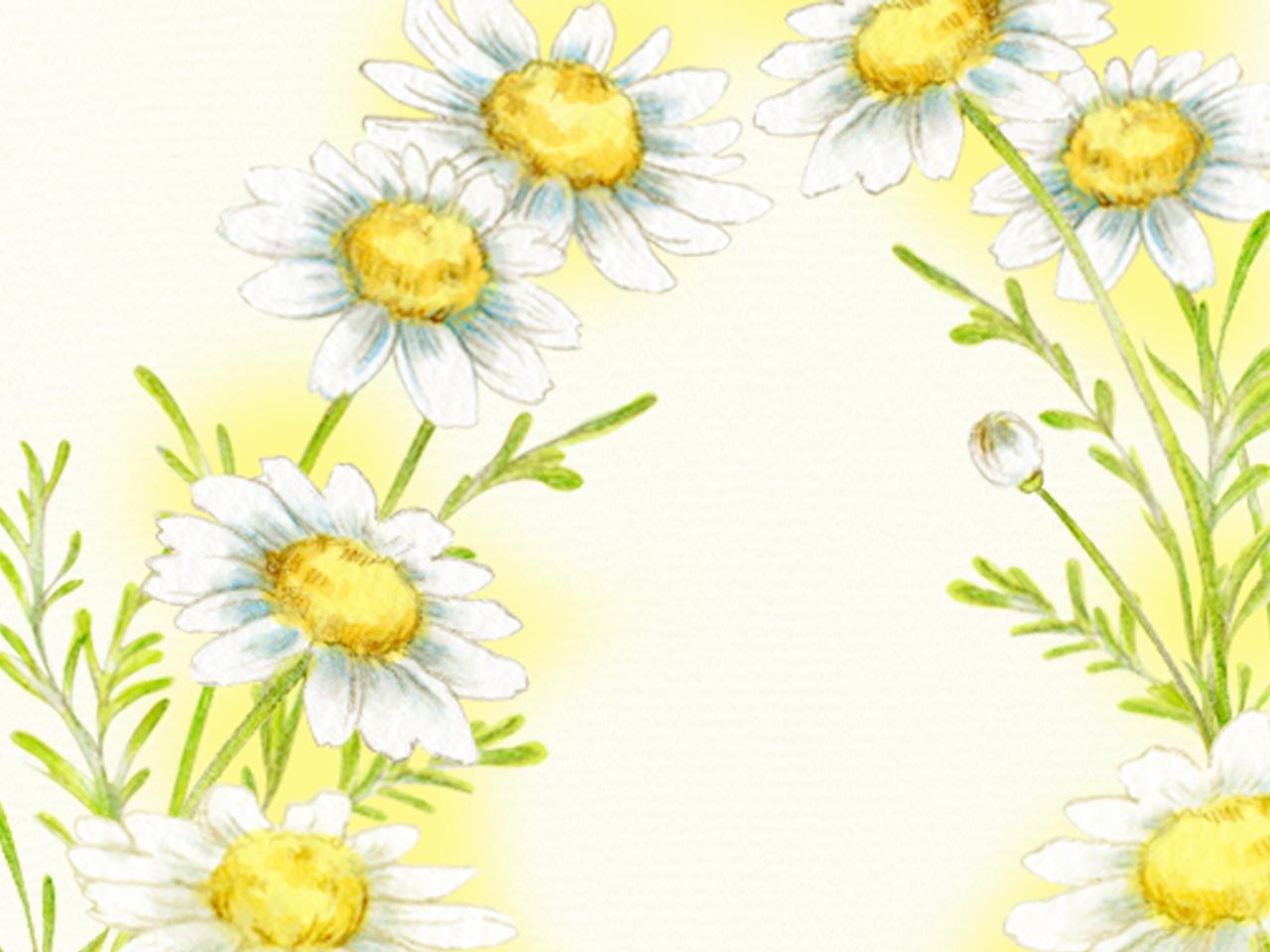 カモミールの花のイラスト